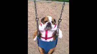 Stella The Bulldog On A Swing