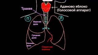 Знакомство с лёгкими