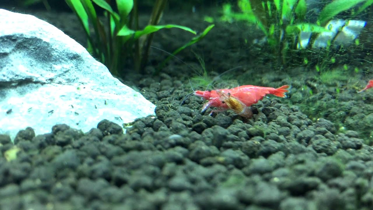 Red Cherry Shrimp Mating Youtube