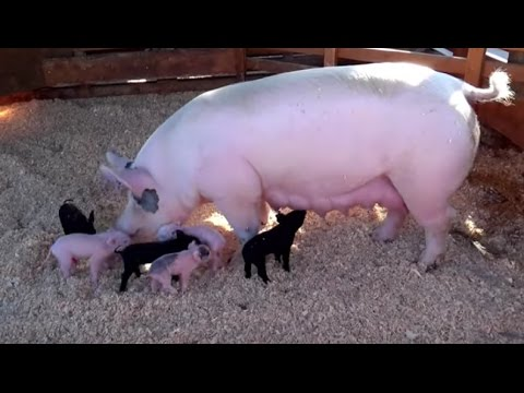AWESOME MOTHER PIGS & THEIR  PIGLETS - A Must See