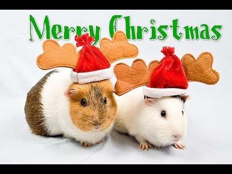 Things to do for your Guinea Pig this Christmas. - YouTube