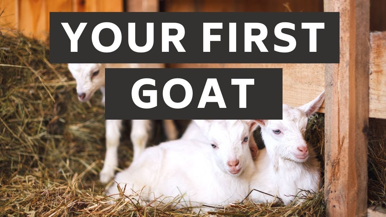 Download What you need ready for your first goat | Prepare for Goats! | New Goat Owner Supplies | Goat Care