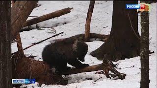 Медведица Пужа из Торопецкого центра спасения пережила зиму