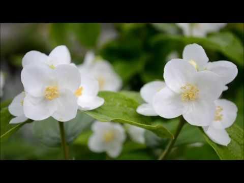 Вопрос: Какой кустарник носит название чубушник shy?