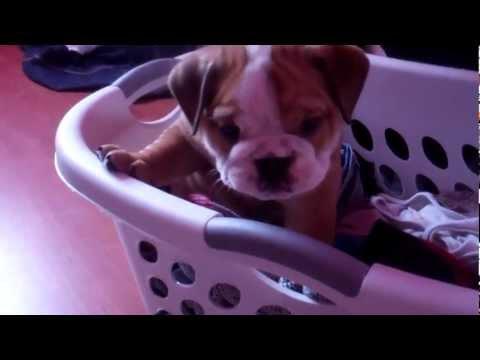 English Bulldog Puppies 6 1/2 Weeks Old