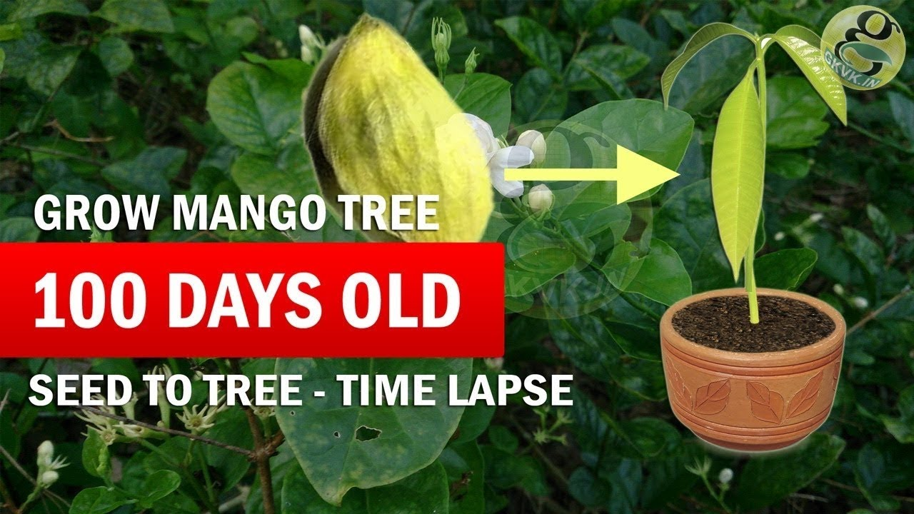 How to Grow Mango Tree From Seed (Raw) - Mango seed ...