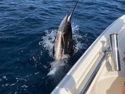 Huge Sailfish In Stuart, FL