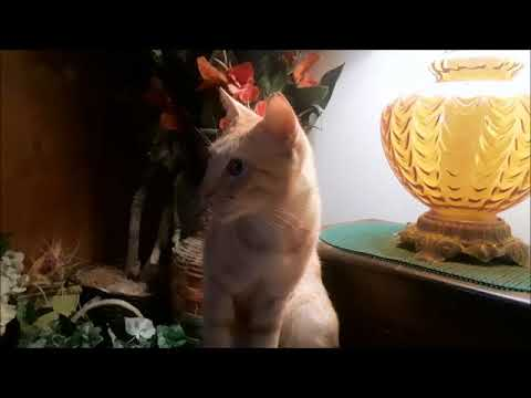 Cat reacts to kittens meowing on tv