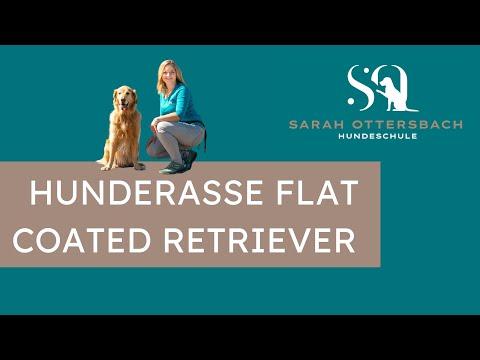 Hunderasse Flat Coated Retriever vorgestellt (gelber Flat)