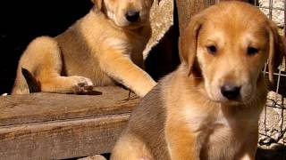 Порода собак .Русская гончая.Уникальная русская порода