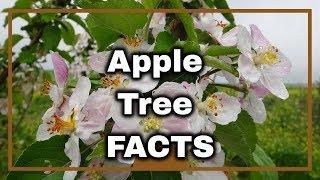 Apple Tree Information & Uses