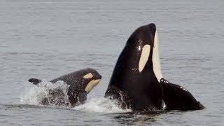 Officials contemplating capturing sick orca whale J50