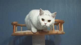 Котята британской породы.