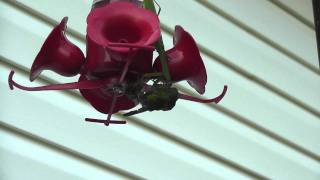 Repeat youtube video Who knew a Praying Mantis could kill a Hummingbird