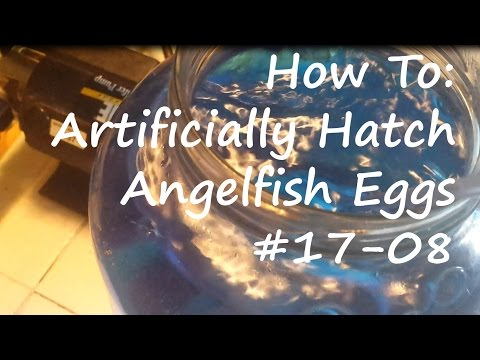 How To Artificially Hatch Angelfish Eggs #17-08