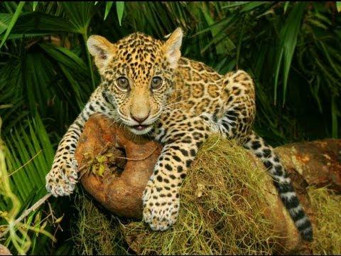 Brasil conhe a os animais amea ados de extin o youtube - Bichos en casa fotos ...