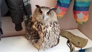 "Eagle owl ""Yoll"" came with me to tell children about owls."