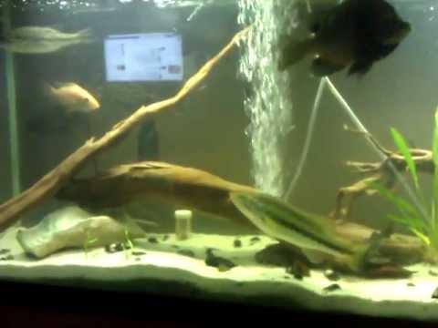 Florida native fish tank 2 youtube for Fish native to florida