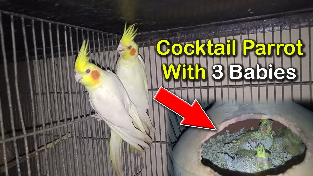 Cockatiel Parrot With 3 Babies | Cockatiel Breeder Pair | Cockatiel Amazing  Pair | Birds Market