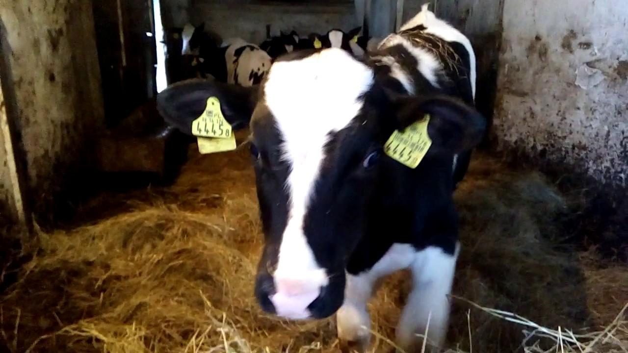 Цена не указана. Симферополь. 12 000 ₽. Продаем телят мясных и молочных пород. Имеются в наличии. Телят в достаточном количестве. Можно.