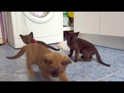 Бурманские котята 2