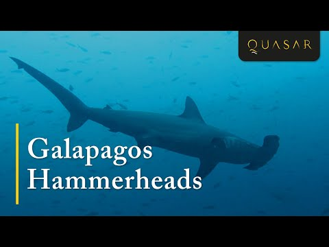 Galapagos Hammerheads: The Scalloped Hammerhead Shark on Wolf & Darwin Island