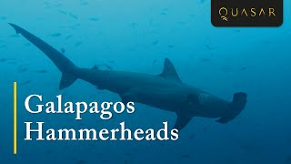 Galapagos Hammerheads: Swimming With The Scalloped Hammerhead Shark on Wolf & Darwin Island