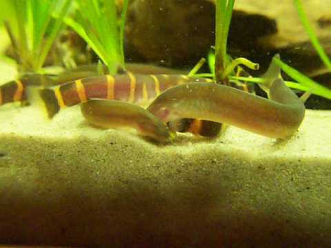 Kuhli loach feeding frenzy youtube for Bottom feeders fish