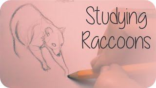 Studying Raccoons | Sketching