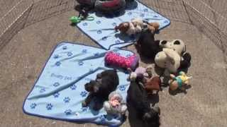 Little Rascals Uk Breeders New Litter Of Miniature Schnauzers