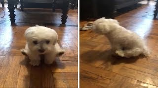 Hilarious Moment Dog Walks On Front Legs