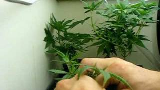 Zip-Tie Low Stress Training (ZLST) - Shaping Plants & Building Character