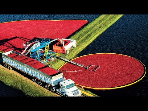 Awesome Fruit Harvest In Water - Cranberry Cultivation And Processing - Cranberry Farm And Harvest