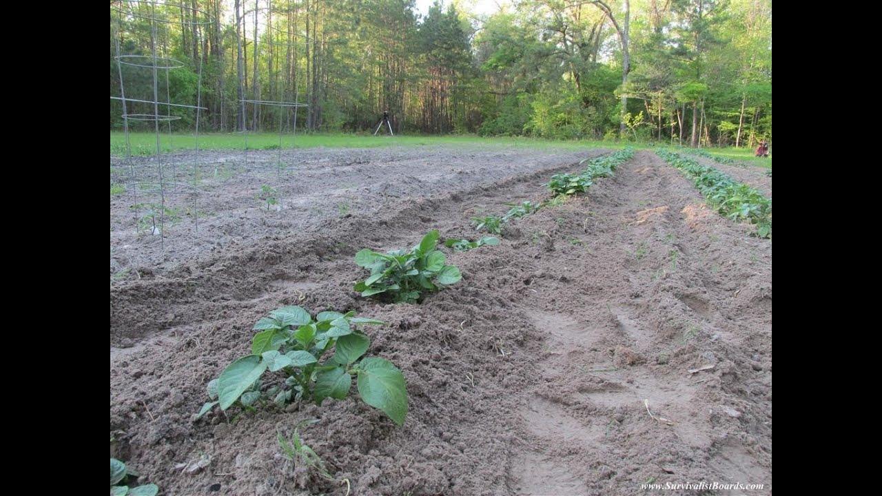 making potato plant mounds