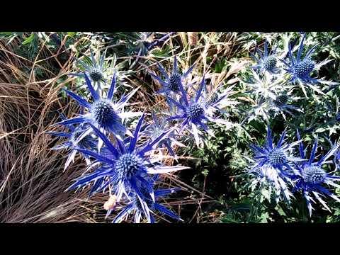 Deep Blue Purple Thistle-like Flowers