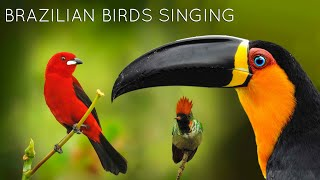 Brazilian birds and sounds!