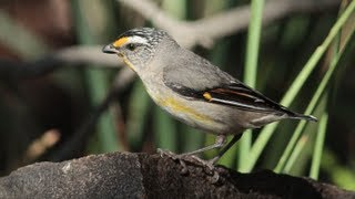 Striated Pardalote, Tasmanian passerine bird filmed in the wild.