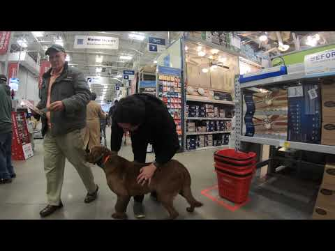 "Chesapeake Bay Retriever ""Nozzle"" l Awesome Transformation l Hampton Roads Dog Trainers"