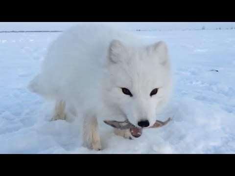 Baby Arctic Fox Steals Mans Fish