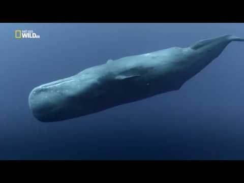 Глубоководные киты [HD]