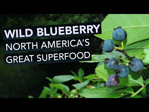 Wild Blueberry —North America's Great Superfood