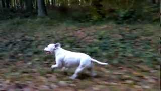 Lola The Dog, Running Along Side Car, Amazing Muscle Movement - Staffordshire Bull Terrier X