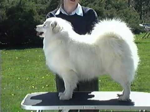 American Eskimo AKC breed video