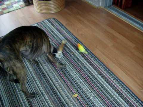 Dog vs. Bird - boxer and lovebird play bone tug of war