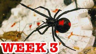 Deadly Redback Spiders Attack Stick Spider & Vaseline Controls Week 3