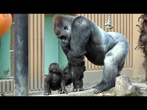 gorillaDad gorilla Momotaro is not yet used to how to touch a baby