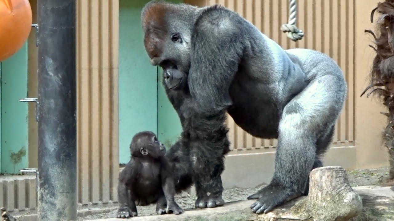 赤ちゃんの触り方が不器用すぎる父⭐️ゴリラ gorilla【京都市動物園 ...