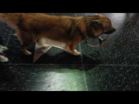 Dog walking himself down the Hollywood walk of fame (pt 2)