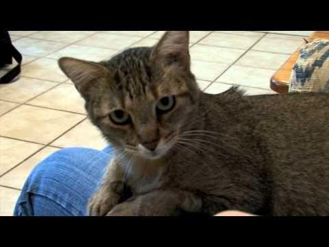 FUZZY FRIENDS - WHITTY: DOMESTIC SHORTHAIR TABBY CAT