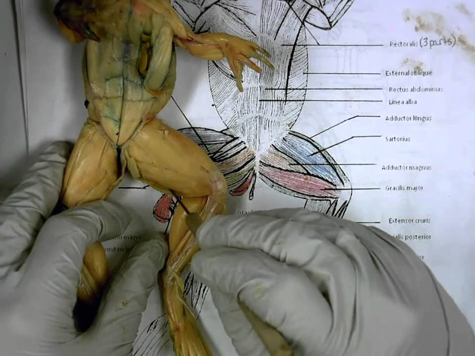 Frog Ventral Muscles - YouTube